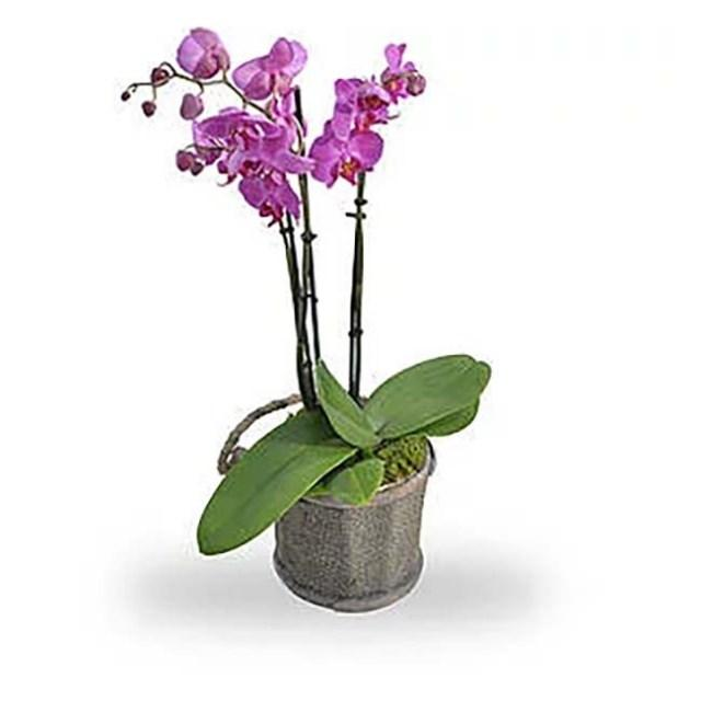 Phaleanopsis roze in pot